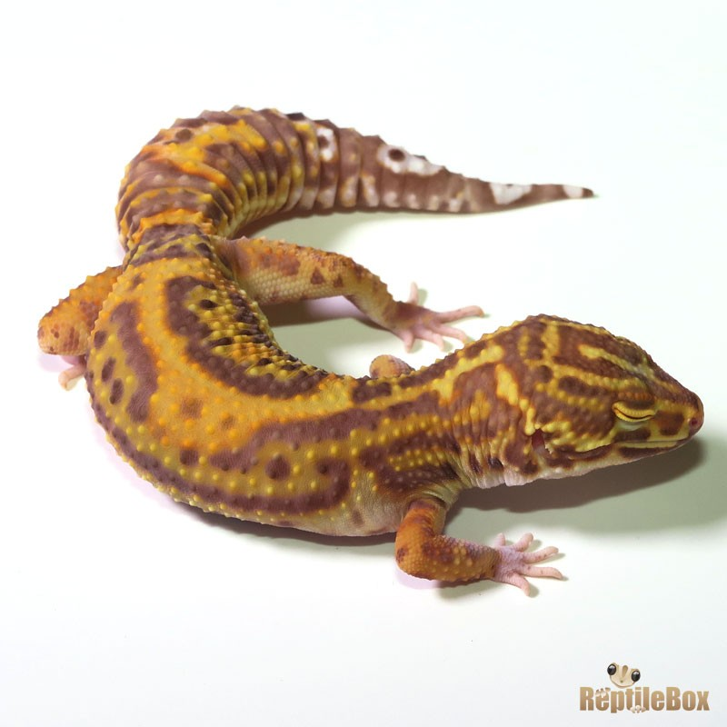 Jungle Orange Bell ♀