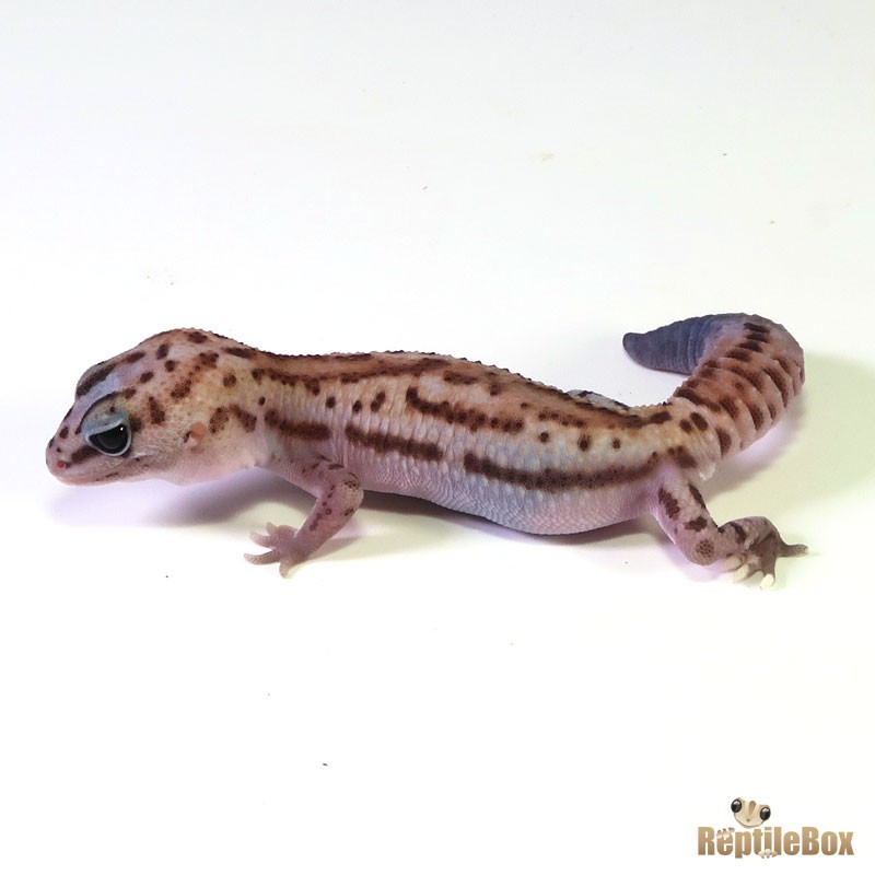 White Out Patternless ♂