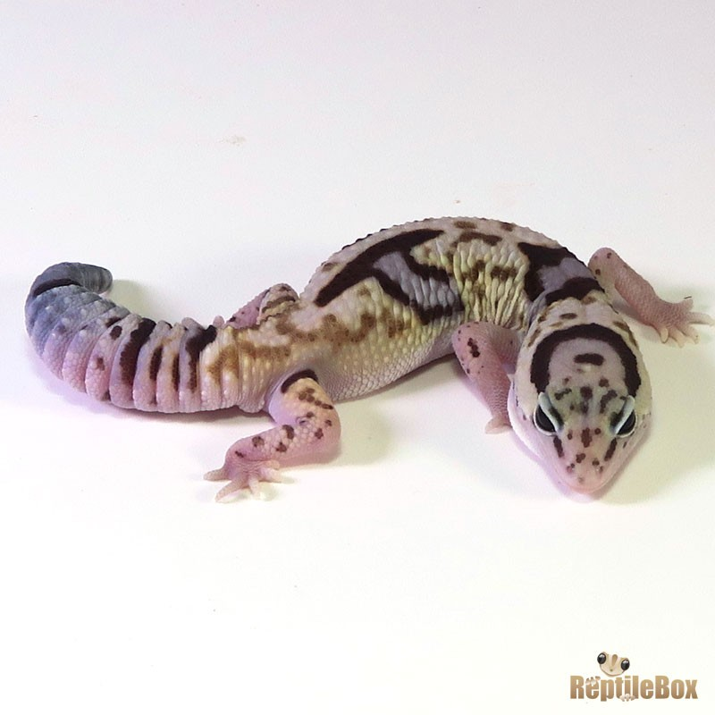 White Out Het. Patternless ♂